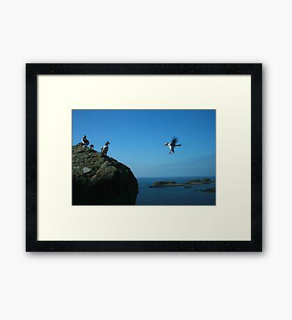 Puffin landing Framed Print