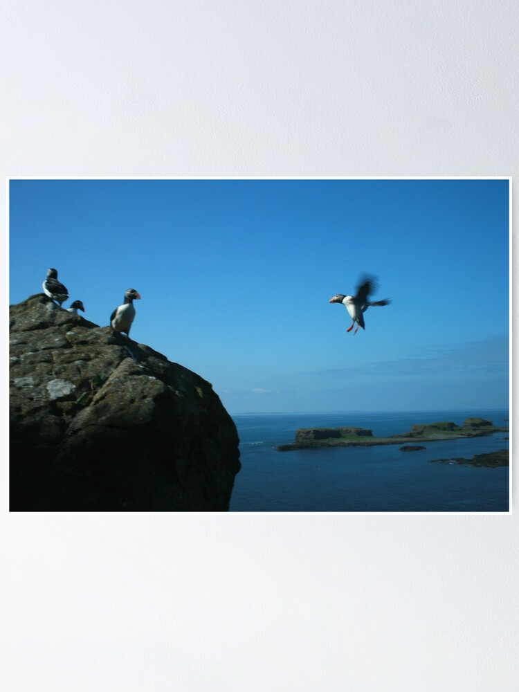 Alternate view of Puffin landing Poster