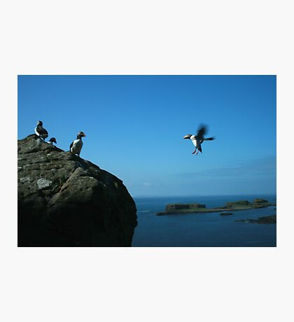 Puffin landing Photographic Print
