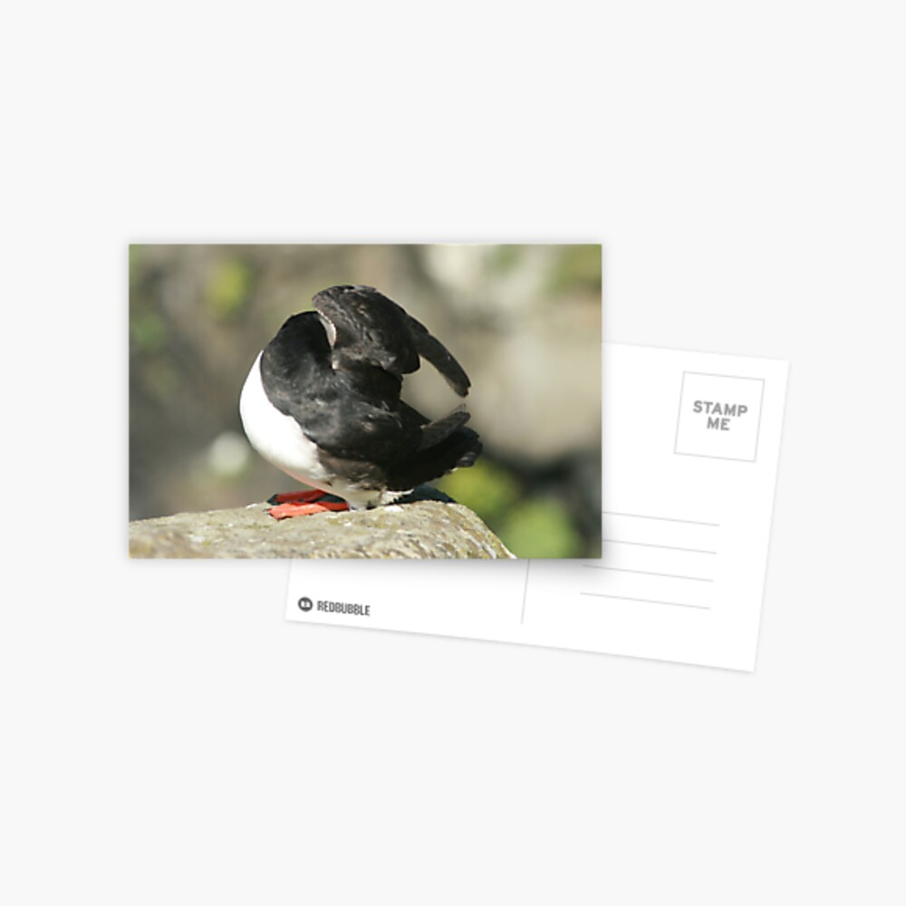 Shy Puffin Postcard