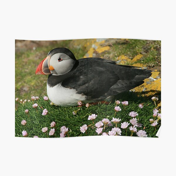 Puffin in the pinks Poster