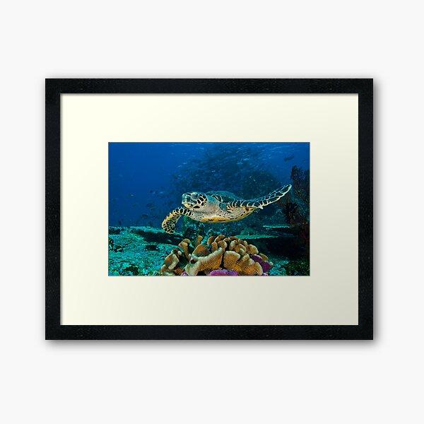 Hawkesbill Turtle Framed Art Print