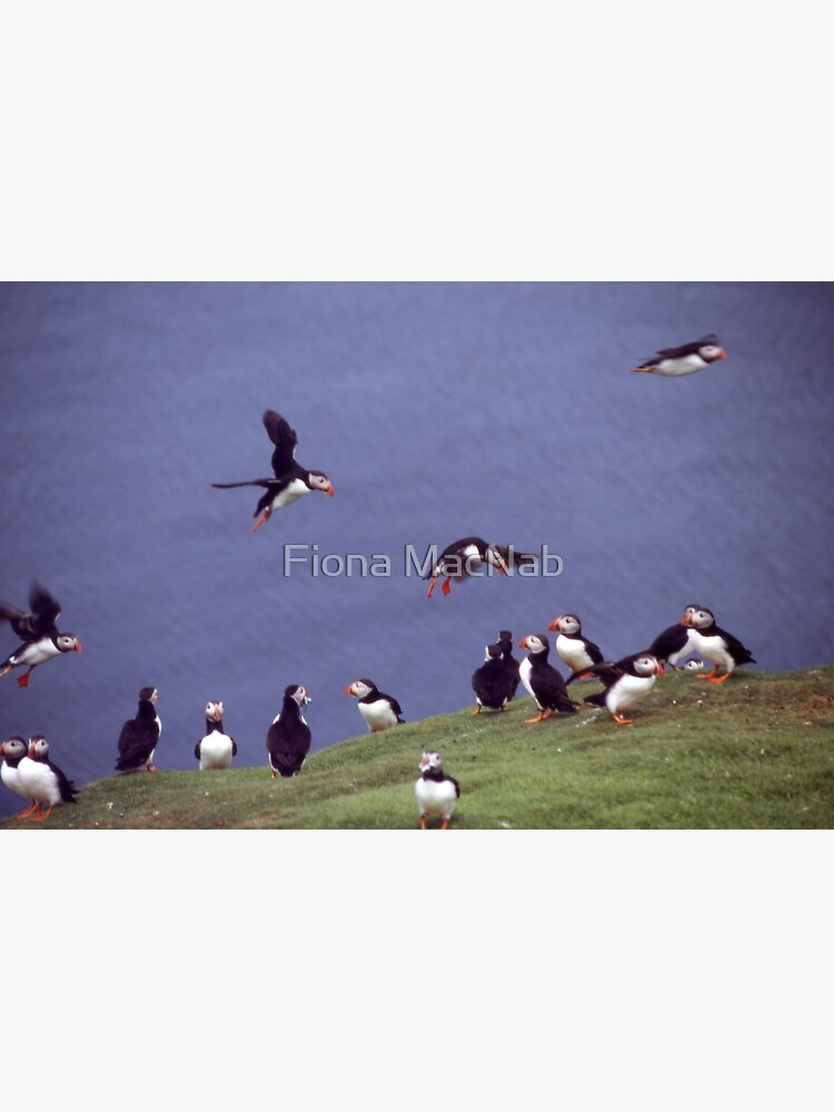 Puffin gathering by orcadia