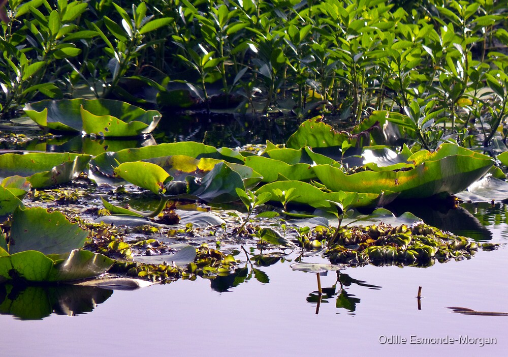 Watery Leaves - Lake Ainsworth by Odille Esmonde-Morgan