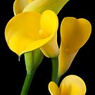 Four yellow calla lilies by Garry Gay