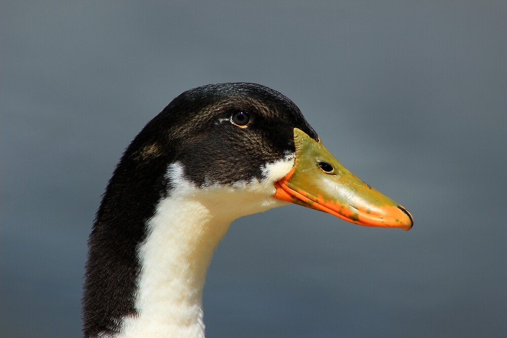 Face of a Duck by rhamm