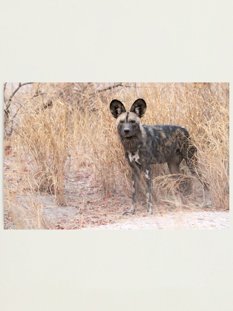 Alternate view of The dog with the ears Photographic Print