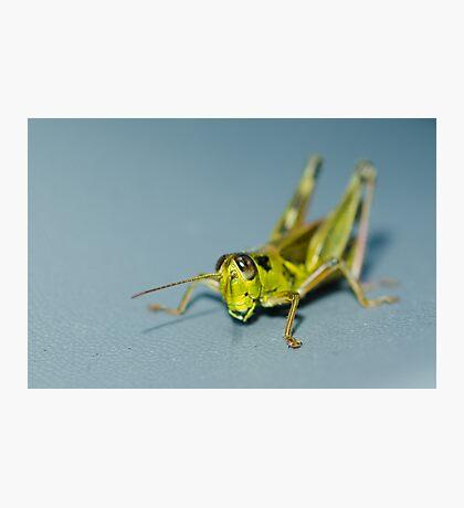 Small grasshopper Photographic Print