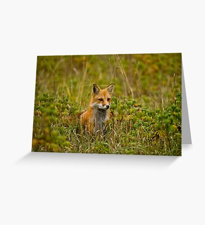 Red Fox In Field Greeting Card