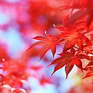 maple leaves by Catherine Lau