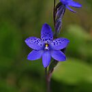 Thelymitra ixioides by Colin12