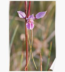 Purple Diuris - Diuris punctata Poster