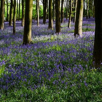 Bluebell Woodland, England by CarolynEaton
