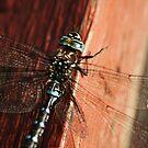 Dragonfly   At the Park by Tamara Brandy