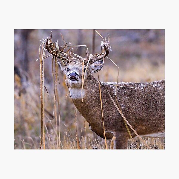 White-tailed Deer Buck Photographic Print