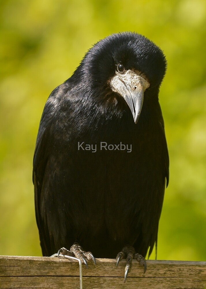 cute rook by Kay Roxby