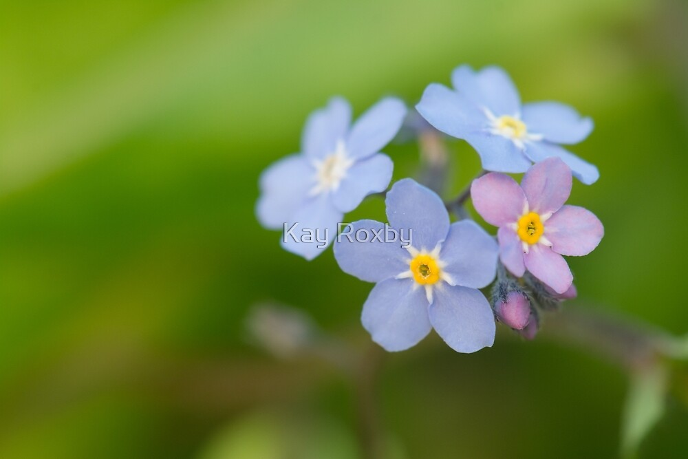 forget-me-nots by Kay Roxby