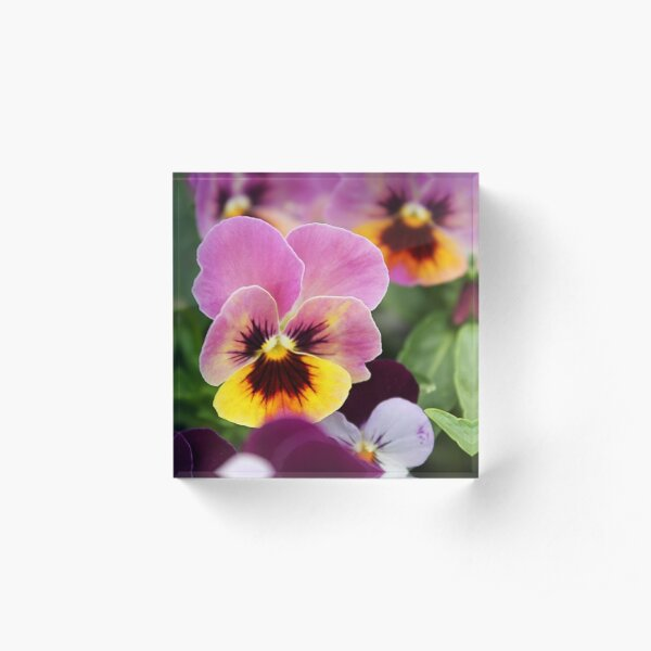 Italian Garden - Colorful Pansy Acrylic Block