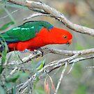 Male King Parrot. Brisbane, Queensland, Australia. (10) by Ralph de Zilva