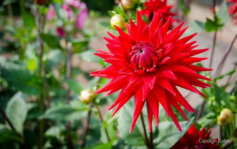 Red Spiky Dahlia by Carolyn Eaton