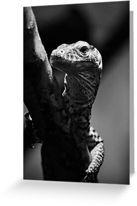 Baby Komodo Dragon by Saija  Lehtonen