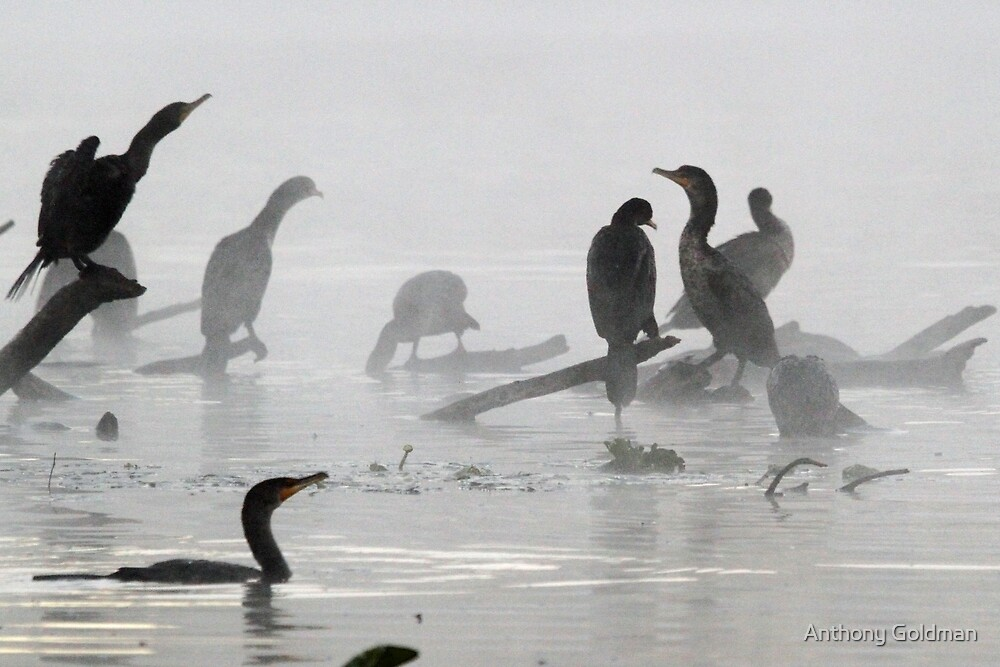 Coromorants on a cold foggy florida winters day by Anthony Goldman