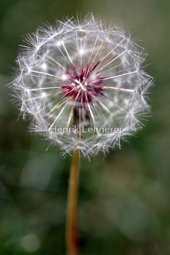 Dandelion Seed Head by Henrik Lehnerer