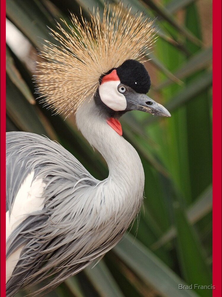 Grey Crested Crane iPhone cover by bfra