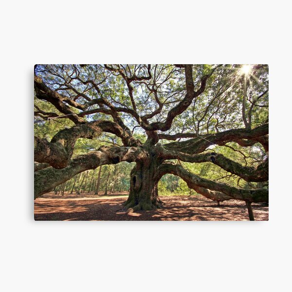 The Angel Oak Canvas Print
