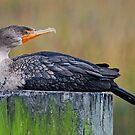 Cormorant Siesta by Kathy Baccari