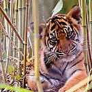 Tiger Cub with Bamboo by CRYROLFE