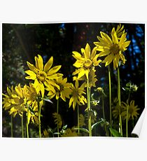 Sunflower Display In Ohio Creek Valley Poster