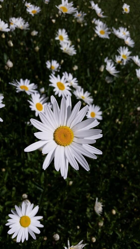 Daisies in bloom by Dennis Deitz
