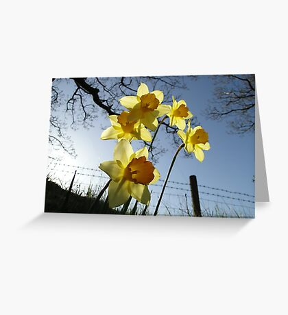 Sunrising behind the daffodils Greeting Card