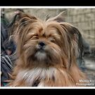 Yorkshire Terrier by MaverickDesign