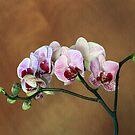 Phalaenopsis Orchid by Marija