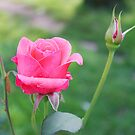 Rose and Bud by Cherie Balowski