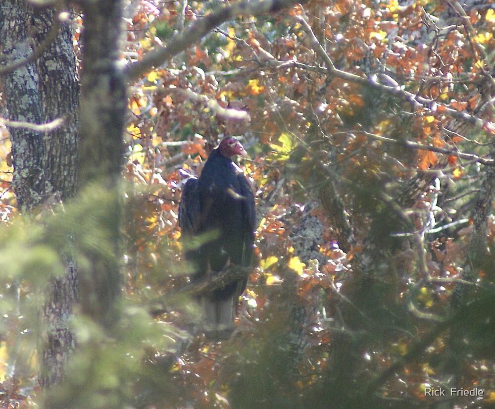Turkey Vulture by Rick  Friedle