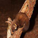Pine Marten in Tree Trunk by kernuak