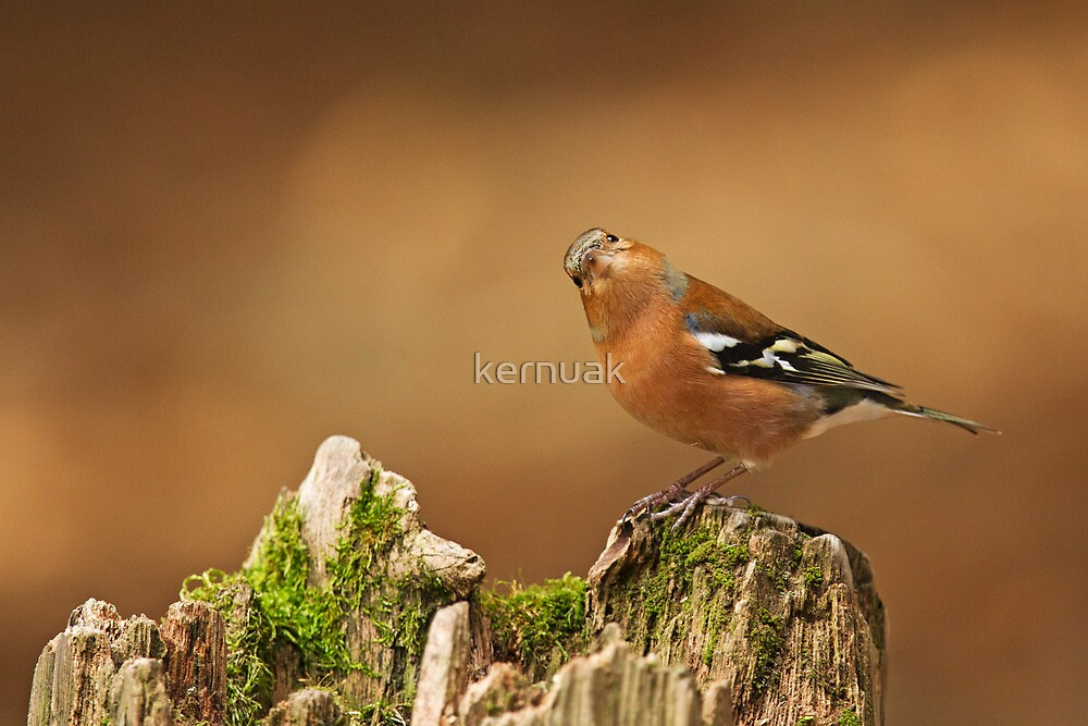 Male Chaffinch with Head Cocked by kernuak