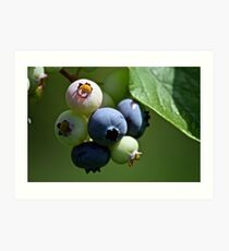 Even more blueberries Art Print