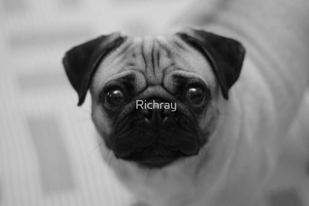 CUTE PUG by Richray