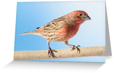 House Finch by Jim  Hughes