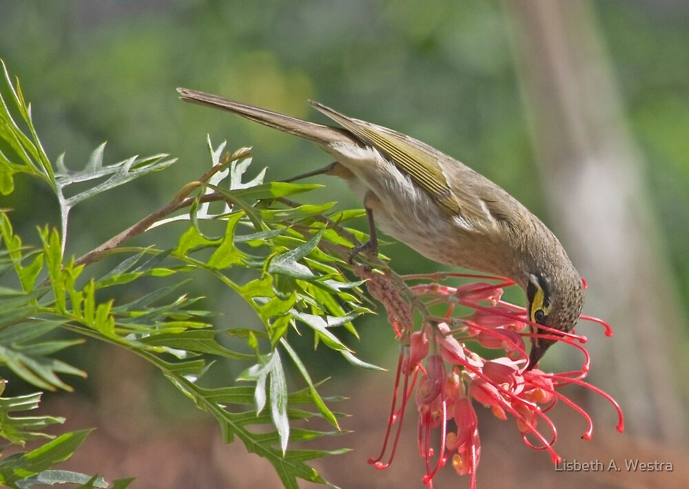 Yellow-faced Honeyeater by Lisbeth A. Westra