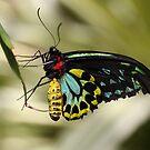Cairns Birdwing  by Megan Warren
