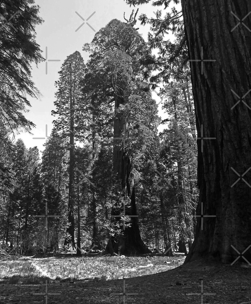 Giant Sequoia Tree by HHImagery