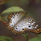 Butterfly by Dennis Cheeseman
