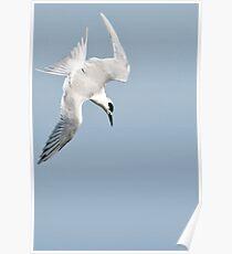 Diving Tern Poster