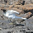 The Egret Has Landed by dilouise