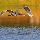 Blue Heron flyby by Jim Cumming
